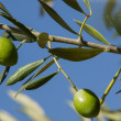 Olive tree — Stock Photo #12388556