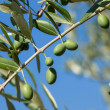 Olive tree — Stock Photo #12388743