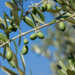 Olive tree — Stock Photo #12388801