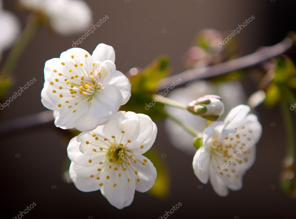 White apricot blossoms against the blue sky — Stock Photo #11529544