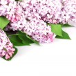 Lilac branch purple — Stock Photo