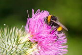 Bumble bee on pink flower — Stock Photo