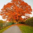 Red autumn oak tree — Stock Photo