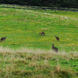 Panorama with grey kangaroo — Stock Photo