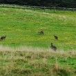 Stock Photo: Panorama with grey kangaroo