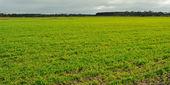 在农田上新鲜的豆芽 — 图库照片