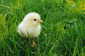 Fluffy chick looking — Stock Photo