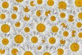 Marguerite květiny — Stock fotografie
