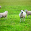 Some Sheep — Stock Photo