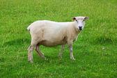 Single Sheep — Stock Photo