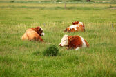 Three Cows — Foto Stock