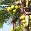 Tropical coconut - Stock Photo