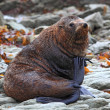 Relaxing wild seal — Stockfoto