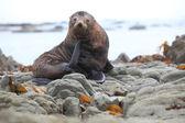 Wild seal — Stock Photo