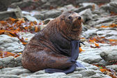 Relaxing wild seal — Foto Stock