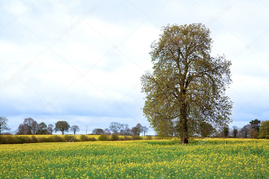 Tree with yellow Canola oilseed flower Field — Stock Photo #11163972