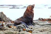 Seal on coast — Stock Photo