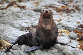 Wild seal at Seal colony — Stock Photo