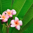 Tropical flowers on green leafs — Stock Photo