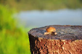 Snail closeup on stump — Stock Photo