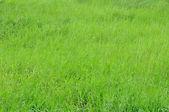 Green grass texture — Stock Photo