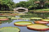 Royal water lily — Photo