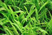 Green fern as a background — Stock Photo