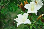 Tropical flower white — Stock Photo
