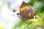 Butterfly Kallima inachis formosana — Stock Photo