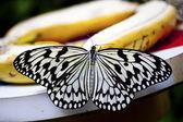 Fjäril idé leuconoe clara — Stockfoto