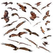 Brahminy Kite — Stock Photo
