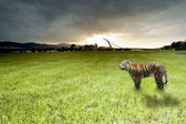 Dawn with bengal tiger — Stock Photo