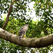 Crested goshawk — Stock Photo