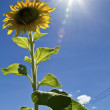 Sunflower with sun - Stock Photo