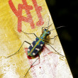 Tiger beetle - Photo