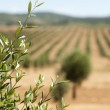 Young olive trees — Stock Photo