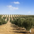 Young olive trees — Stock Photo #12383960