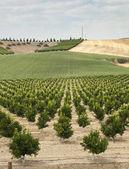 Planta árboles yang naranja — Foto de Stock