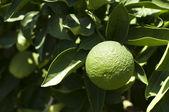 Green unripe orange fruit — Stock Photo