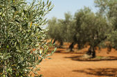 Olive plantation and olives on branch — Stock Photo