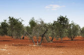 Olive trees in plantation — Stock Photo
