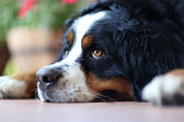 Laying a swiss bernese dog — Stock Photo