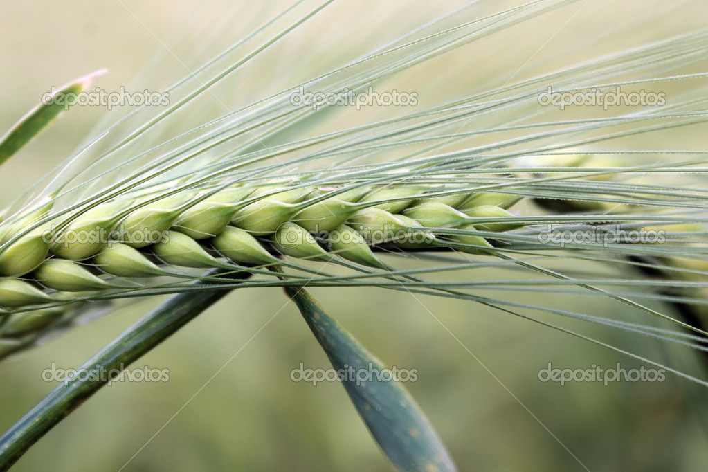 Wheat ears close to the gray-green background — Stock Photo #11346713