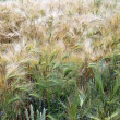 Wheat field — Stock Photo #11820451