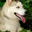 Husky laying in a green forest — Stock Photo