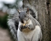 Squirrel eating nut — Stock Photo