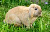 Conejo se sienta en la hierba — Foto de Stock