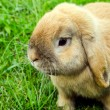 Rabit in grass — Stock Photo #11767687