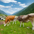 Alpine cows — Stock Photo