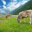 Alpine cows — Stock Photo